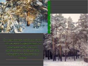 В наше время хвойные леса постепенно превращают в смешанные.Во многих местностях