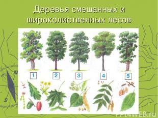 Деревья смешанных и широколиственных лесов