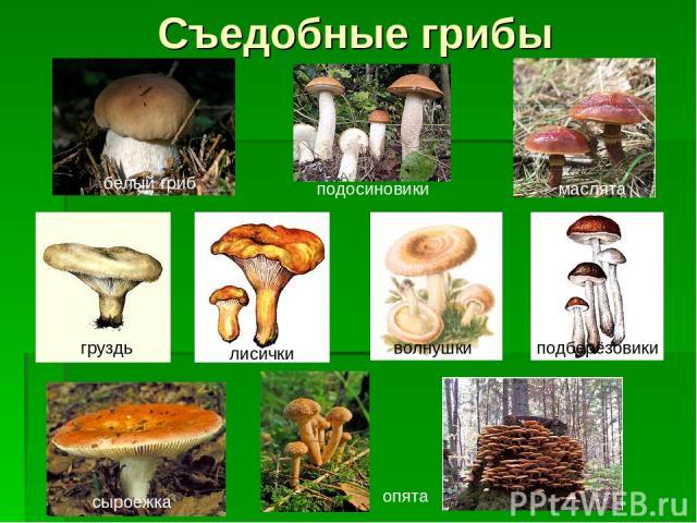 Съедобные грибы белый гриб подосиновики маслята груздь лисички волнушки подберёзовики опята сыроежка
