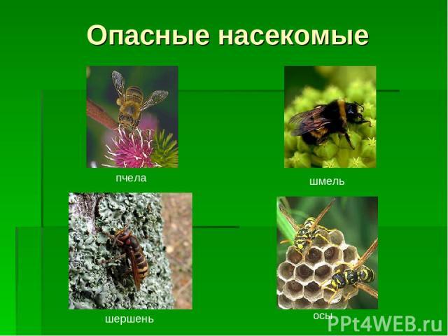 Опасные насекомые пчела шмель осы шершень