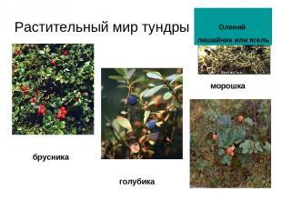 Растительный мир тундры морошка голубика брусника Олений лишайник или ягель