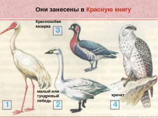 Они занесены в Красную книгу стерх или белый журавль малый или тундровый лебедь