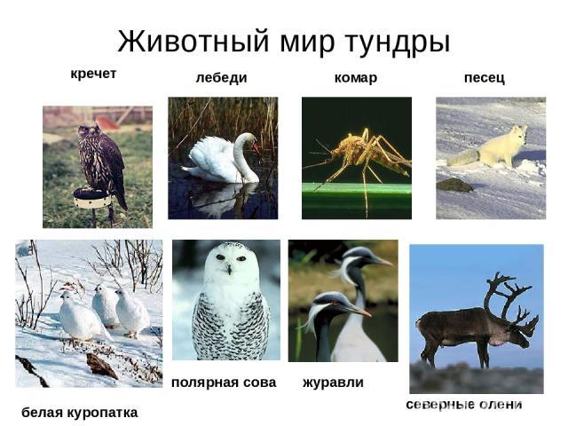 Животный мир тундры кречет лебеди комар песец белая куропатка полярная сова северные олени журавли