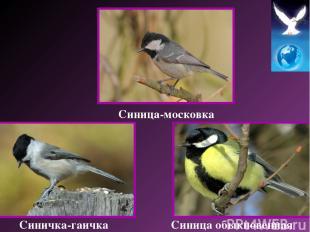 Синичка-гаичка Синица-московка Синица обыкновенная