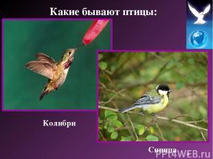 Колибри Синица Какие бывают птицы: