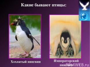Хохлатый пингвин Императорский пингвин Какие бывают птицы: