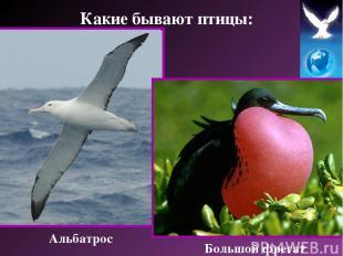 Альбатрос Большой фрегат Какие бывают птицы: