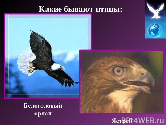 Белоголовый орлан Ястреб Какие бывают птицы: