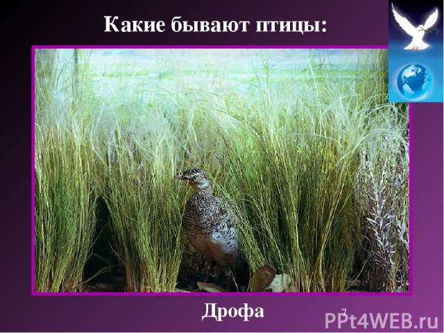 Дрофа Какие бывают птицы: