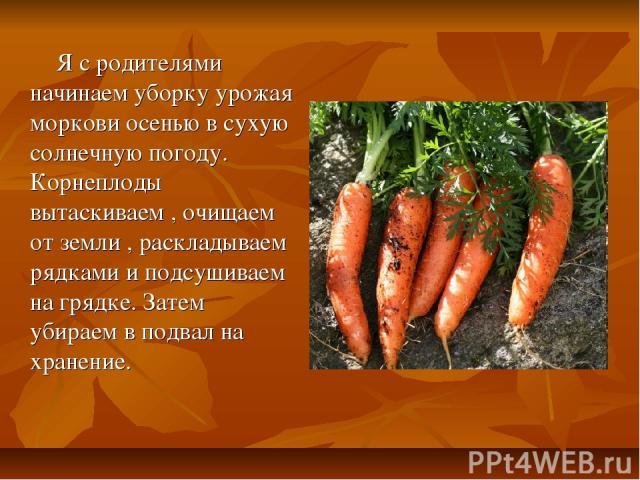 Я с родителями начинаем уборку урожая моркови осенью в сухую солнечную погоду. Корнеплоды вытаскиваем , очищаем от земли , раскладываем рядками и подсушиваем на грядке. Затем убираем в подвал на хранение.