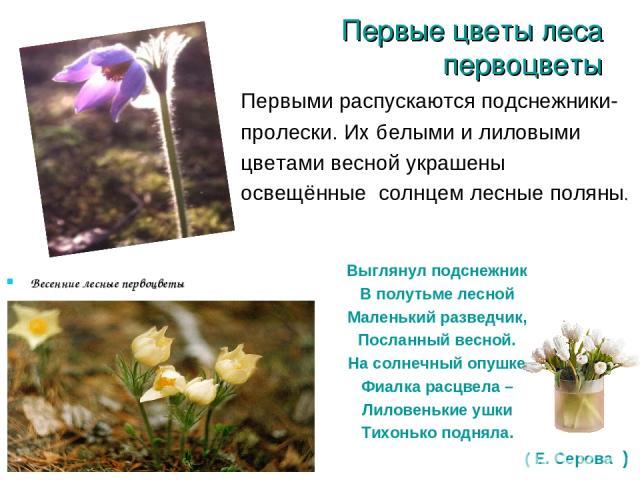 Первые цветы леса первоцветы Весенние лесные первоцветы Первыми распускаются подснежники- пролески. Их белыми и лиловыми цветами весной украшены освещённые солнцем лесные поляны. Выглянул подснежник В полутьме лесной Маленький разведчик, Посланный в…