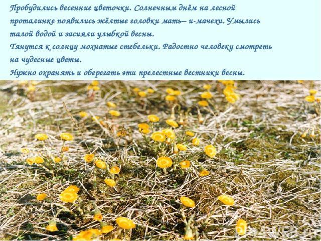 Пробудились весенние цветочки. Солнечным днём на лесной проталинке появились жёлтые головки мать– и-мачехи. Умылись талой водой и засияли улыбкой весны. Тянутся к солнцу мохнатые стебельки. Радостно человеку смотреть на чудесные цветы. Нужно охранят…