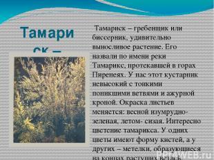 Тамариск – гребенщик или биссерник. Тамариск – гребенщик или биссерник, удивител