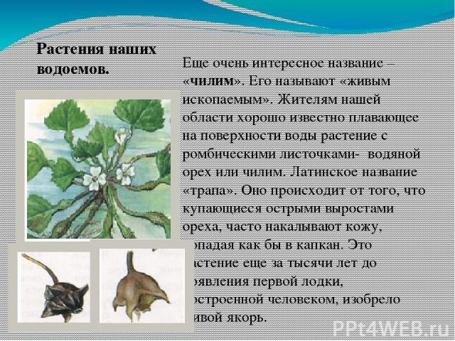 Еще очень интересное название – «чилим». Его называют «живым ископаемым». Жителям нашей области хорошо известно плавающее на поверхности воды растение с ромбическими листочками- водяной орех или чилим. Латинское название «трапа». Оно происходит от т…