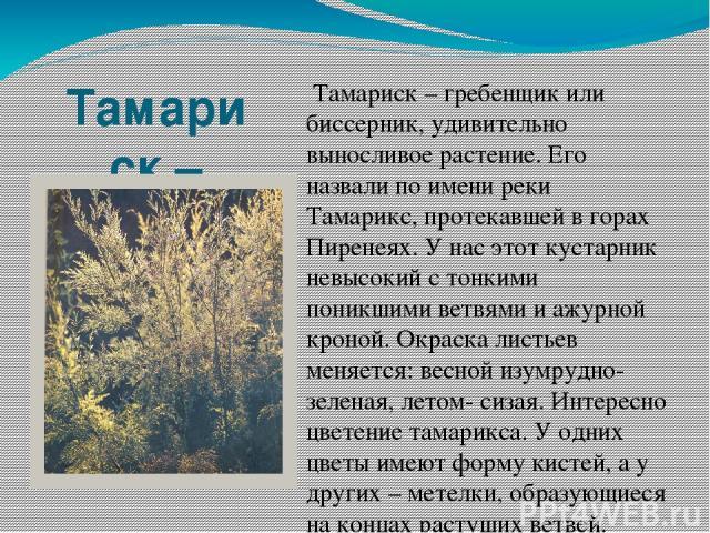 Тамариск – гребенщик или биссерник. Тамариск – гребенщик или биссерник, удивительно выносливое растение. Его назвали по имени реки Тамарикс, протекавшей в горах Пиренеях. У нас этот кустарник невысокий с тонкими поникшими ветвями и ажурной кроной. О…
