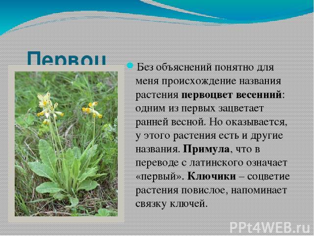 Первоцвет весенний. Без объяснений понятно для меня происхождение названия растения первоцвет весенний: одним из первых зацветает ранней весной. Но оказывается, у этого растения есть и другие названия. Примула, что в переводе с латинского означает «…