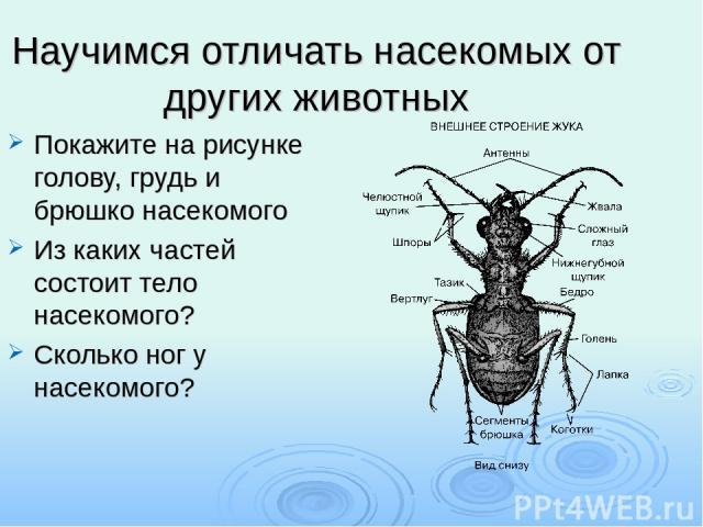 Научимся отличать насекомых от других животных Покажите на рисунке голову, грудь и брюшко насекомого Из каких частей состоит тело насекомого? Сколько ног у насекомого?