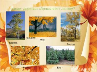 какие деревья сбрасывают листву? Береза Клен Тополь Ясень Ель на сайте www.bcm.r