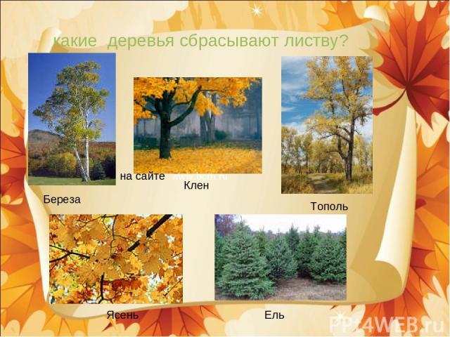какие деревья сбрасывают листву? Береза Клен Тополь Ясень Ель на сайте www.bcm.ru