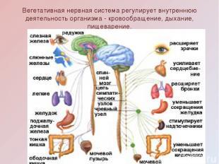 Вегетативная нервная система регулирует внутреннюю деятельность организма - кров