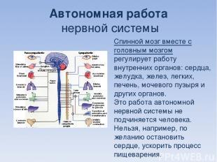 Автономная работа нервной системы Спинной мозг вместе с головным мозгом регулиру