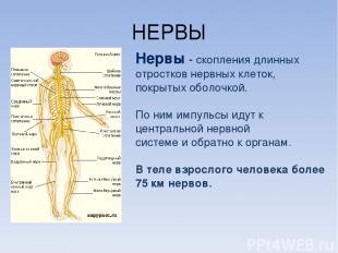 НЕРВЫ Нервы - скопления длинных отростков нервных клеток, покрытых оболочкой. По