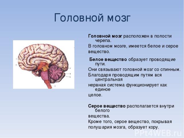 Головной мозг Головной мозг расположен в полости черепа. В головном мозге, имеется белое и серое вещество. Белое вещество образует проводящие пути. Они связывают головной мозг со спинным. Благодаря проводящим путям вся центральная нервная система фу…