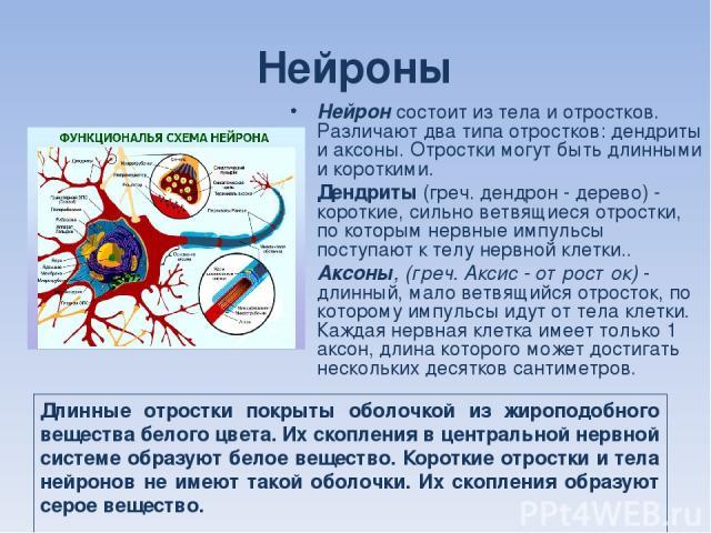 Нейроны Нейрон состоит из тела и отростков. Различают два типа отростков: дендриты и аксоны. Отростки могут быть длинными и короткими. Дендриты (греч. дендрон - дерево) - короткие, сильно ветвящиеся отростки, по которым нервные импульсы поступают к …