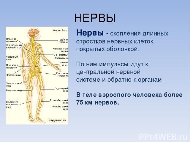 НЕРВЫ Нервы - скопления длинных отростков нервных клеток, покрытых оболочкой. По ним импульсы идут к центральной нервной системе и обратно к органам. В теле взрослого человека более 75 км нервов.