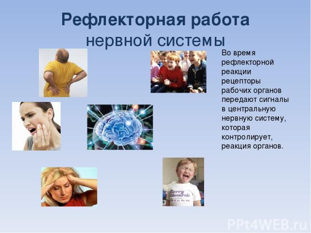 Рефлекторная работа нервной системы Во время рефлекторной реакции рецепторы рабочих органов передают сигналы в центральную нервную систему, которая контролирует, реакция органов.