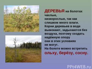 ДЕРЕВЬЯ на болотах чахлые, низкорослые, так как слишком много влаги. Корни дерев