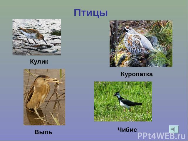 Птицы Кулик Выпь Куропатка Чибис