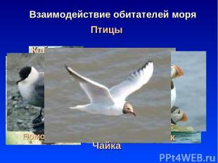 * Птицы Взаимодействие обитателей моря Баклан Пингвин Альбатрос Гага Гагара Кайр