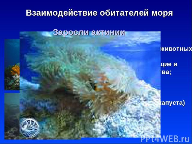 * Взаимодействие обитателей моря Водоросли пища и дом для мелких животных; добывается йод, красящие и желеообразущие вещества; ламинария (морская капуста) – диетический продукт Актиния – цветок -хищник Заросли актинии