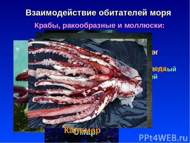 * Взаимодействие обитателей моря Крабы, ракообразные и моллюски: Планктон кормит весь животный мир морей Осьминог Мидии Морская звезда Медузы КРАБ Омар Кальмар