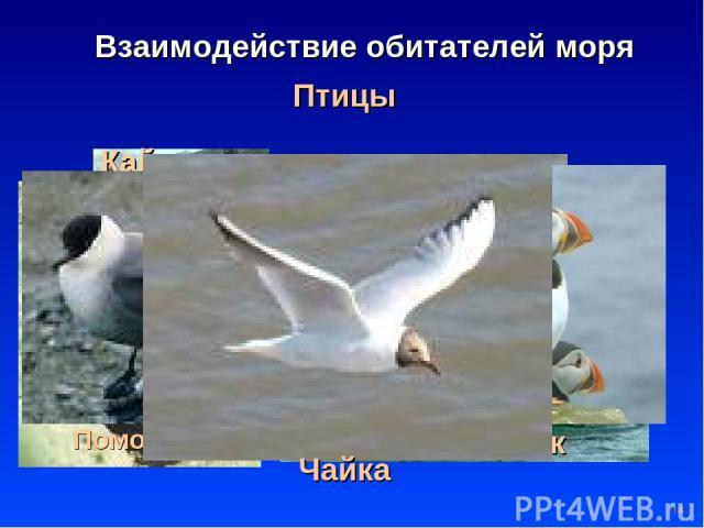 * Птицы Взаимодействие обитателей моря Баклан Пингвин Альбатрос Гага Гагара Кайра Поморник Тупик Чайка