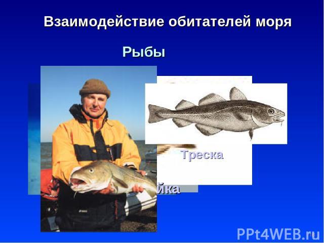 * Взаимодействие обитателей моря Рыбы Электрический скат Пикша Сайка Треска