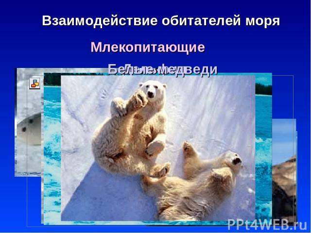 * Взаимодействие обитателей моря Млекопитающие Киты Тюлени Нерпа Моржи Дельфин Белые медведи