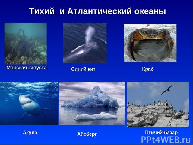 * Тихий и Атлантический океаны Морская капуста Синий кит Краб Акула Птичий базар Айсберг