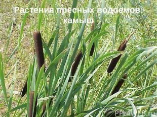 Растения пресных водоемов: камыш