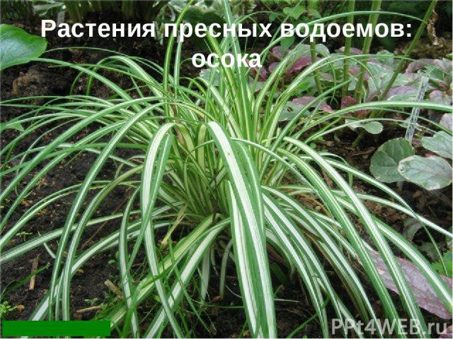 Растения пресных водоемов: осока