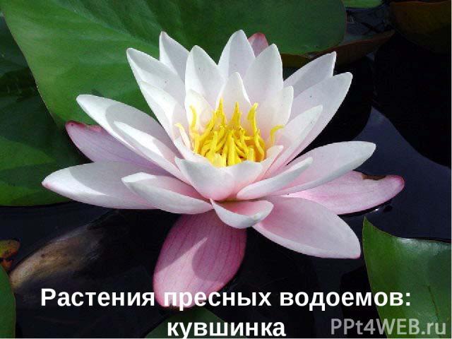 Растения пресных водоемов: кувшинка