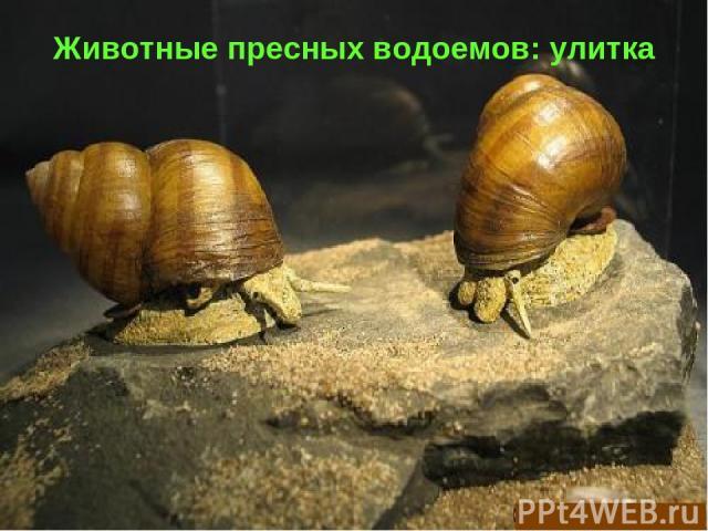Животные пресных водоемов: улитка
