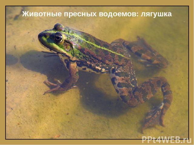 Животные пресных водоемов: лягушка
