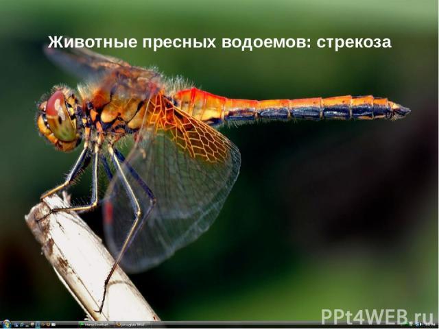 Животные пресных водоемов: стрекоза