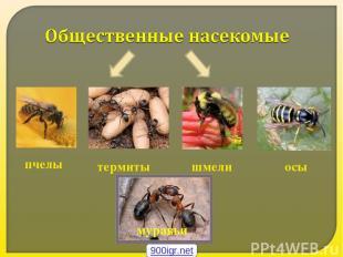 пчелы термиты шмели осы муравьи 900igr.net