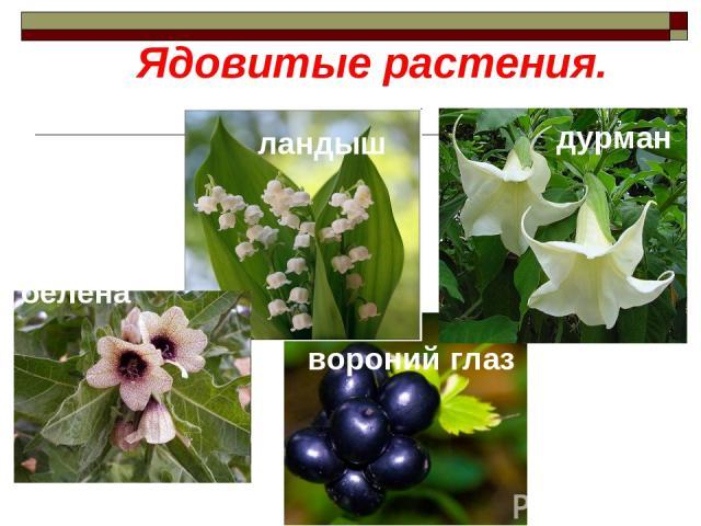 Ядовитые растения. ландыш белена дурман вороний глаз
