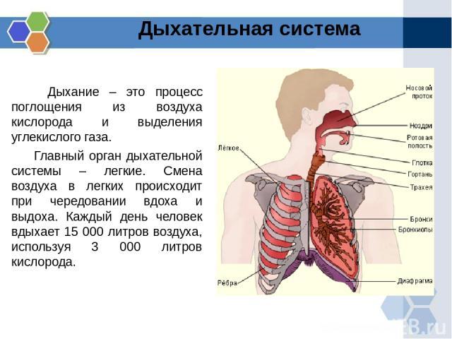 Дыхание – это процесс поглощения из воздуха кислорода и выделения углекислого газа. Главный орган дыхательной системы – легкие. Смена воздуха в легких происходит при чередовании вдоха и выдоха. Каждый день человек вдыхает 15 000 литров воздуха, испо…