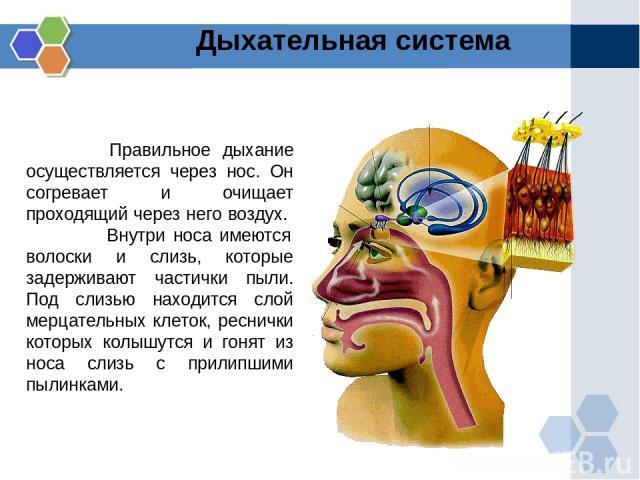 Правильное дыхание осуществляется через нос. Он согревает и очищает проходящий через него воздух. Внутри носа имеются волоски и слизь, которые задерживают частички пыли. Под слизью находится слой мерцательных клеток, реснички которых колышутся и гон…