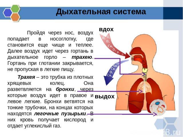 Пройдя через нос, воздух попадает в носоглотку, где становится еще чище и теплее. Далее воздух идет через гортань в дыхательное горло – трахею. Гортань при глотании закрывается, не пропуская в легкие пищу. Трахея – это трубка из плотных хрящевых кол…